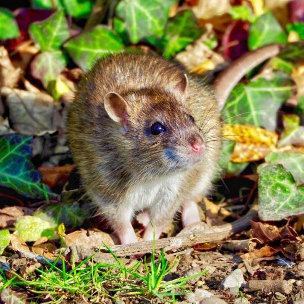 Safe use of rat and mice poison training course. Covering the use of traditional techniques such as trapping, shooting and preventative measures.
